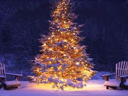 سنبل کریسمس