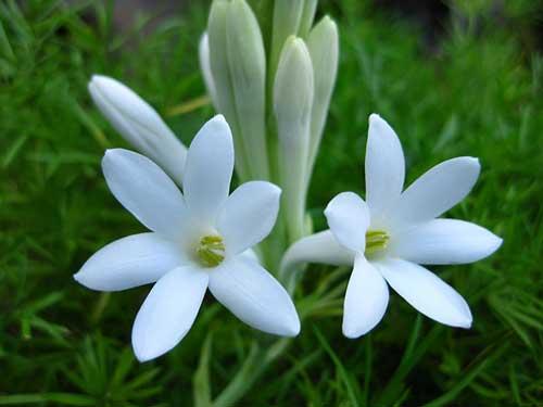 عکس پروفایل گل مریم سفید