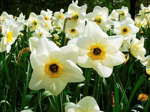 عکس پروفایل گل نرگس در طبیعت