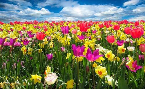 عکس پروفایل گل های بهاری رنگارنگ لاله و نرگس با منظره ای دیدنی از طبیعت