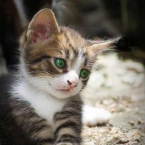 عکس گربه خوشگل برای پروفایل