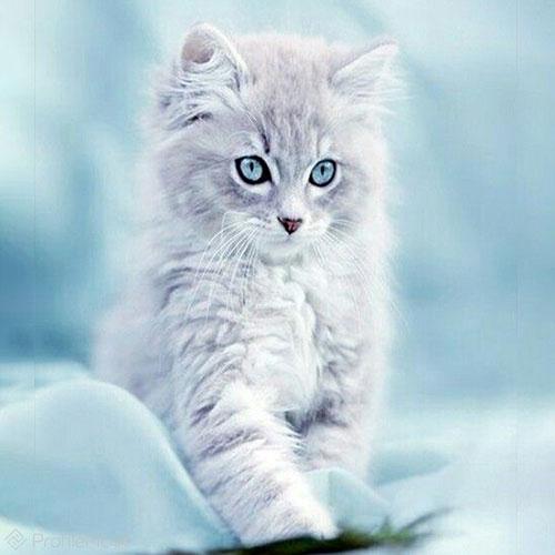 عکس گربه های پشمالو
