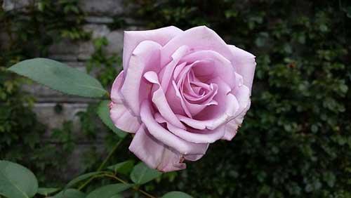 عکس گل رز بنفش زیبا در طبیعت