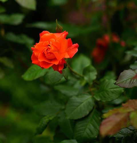 عکس گل رز نارنجی رنگ برای پروفایل تلگرام و اینستاگرام