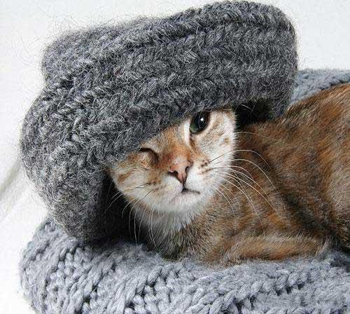 گربه خونگی خوشگل
