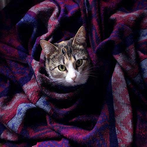 گربه خونگی ملوس