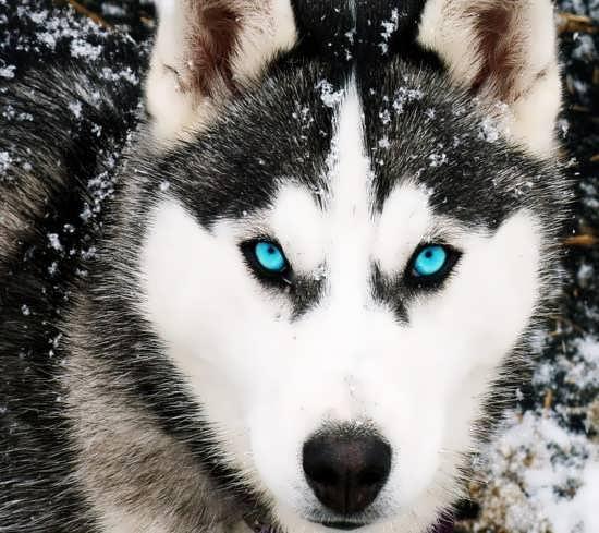 پروفایل گرگ چشم آبی