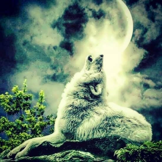 عکس زیبایی از گرگ برای پروفایل