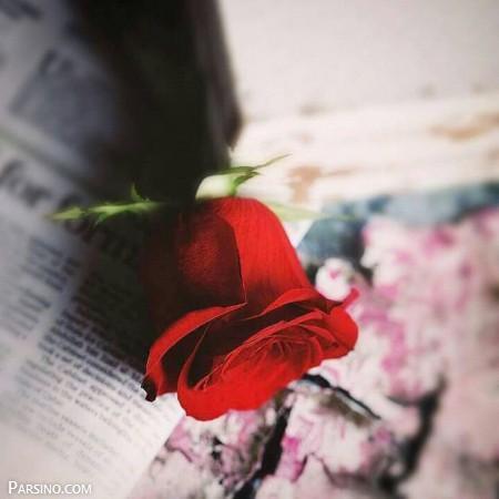 گل رز قرمز 14