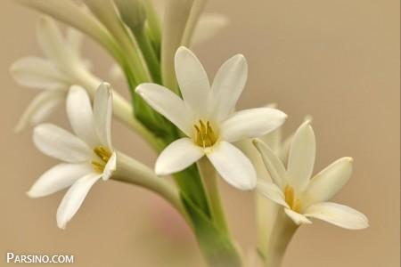 گل مریم 28