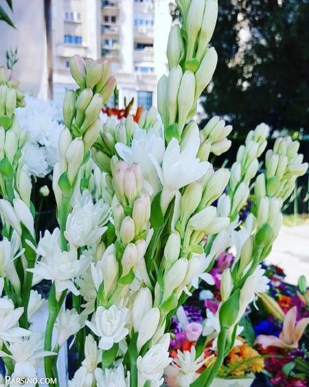 گل مریم 36