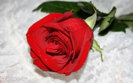 رز قرمز عاشقانه 7