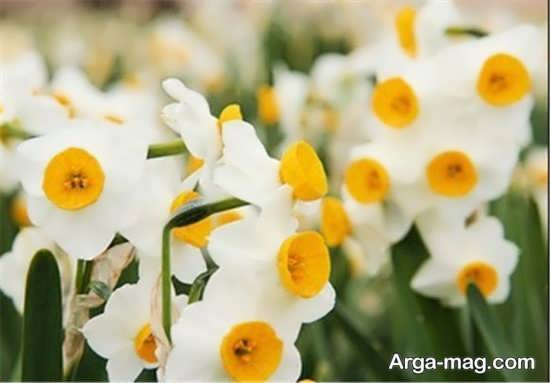 Narges flower photo 15