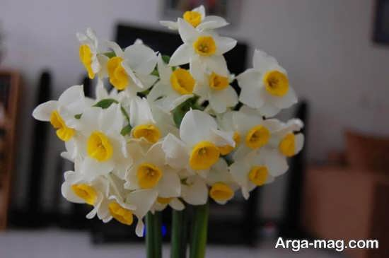 Narges flower photo 16