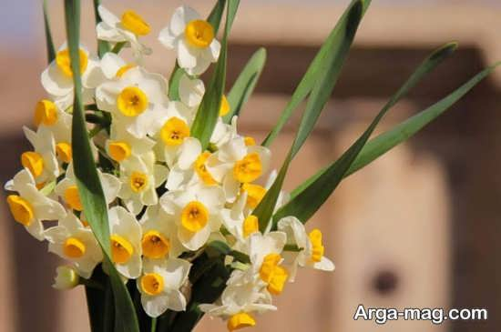 Narges flower photo 17