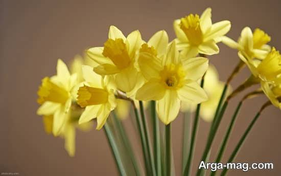 Narges flower photo 18