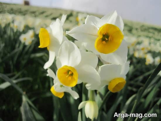 Narges flower photo 20
