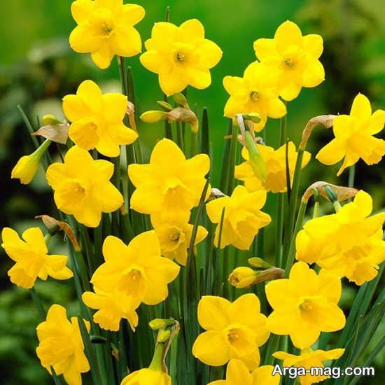 Narges flower photo 21