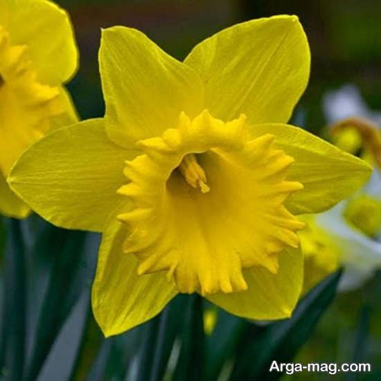 Narges flower photo 26
