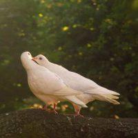 عکس پروفایل کبوتر عاشق + جملات عاشقانه زیبا