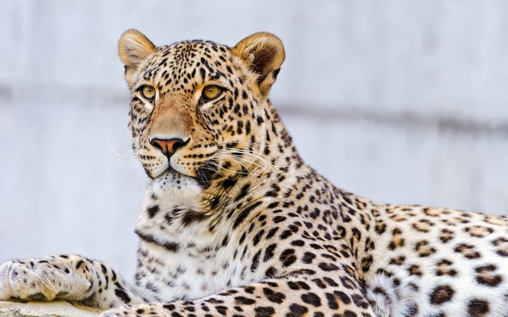 Leopard Wallpapers 2