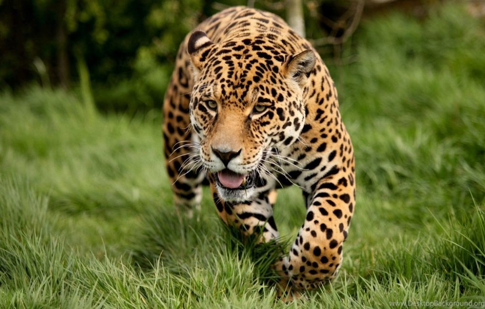 animal leopard running hd desktop free