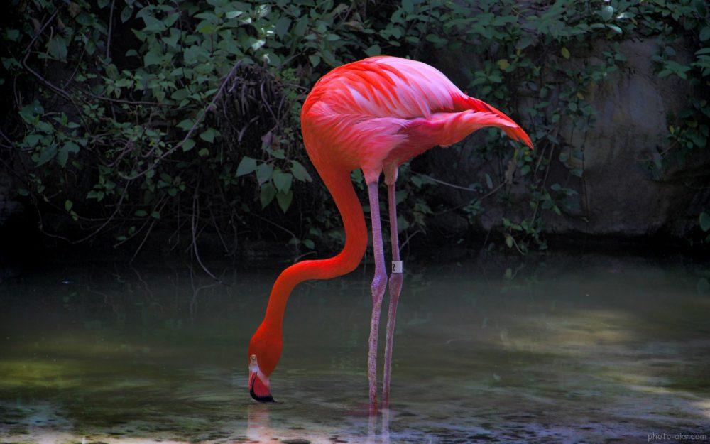 flamingo red bird