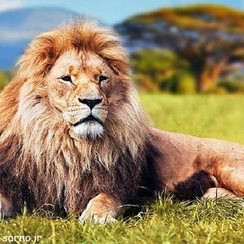lion 2 1