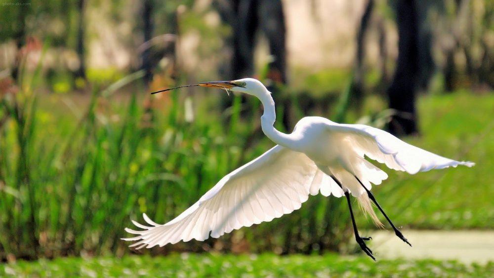 nature flying birds herons egret