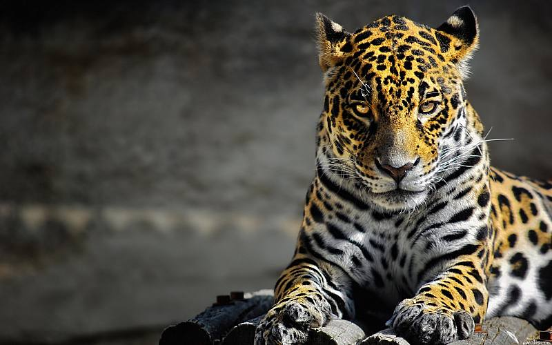 photo of panter 6