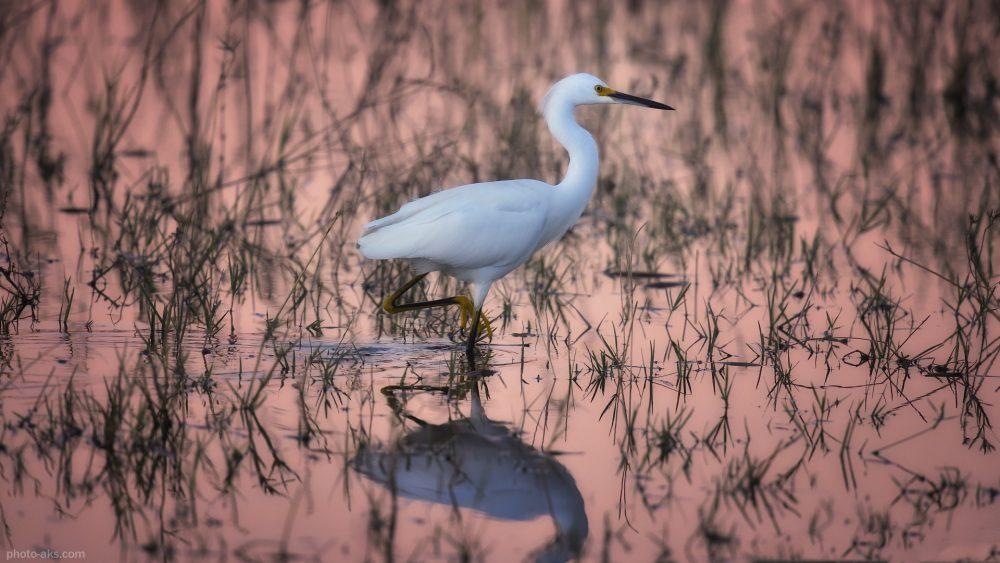 snowy egret bird habitat