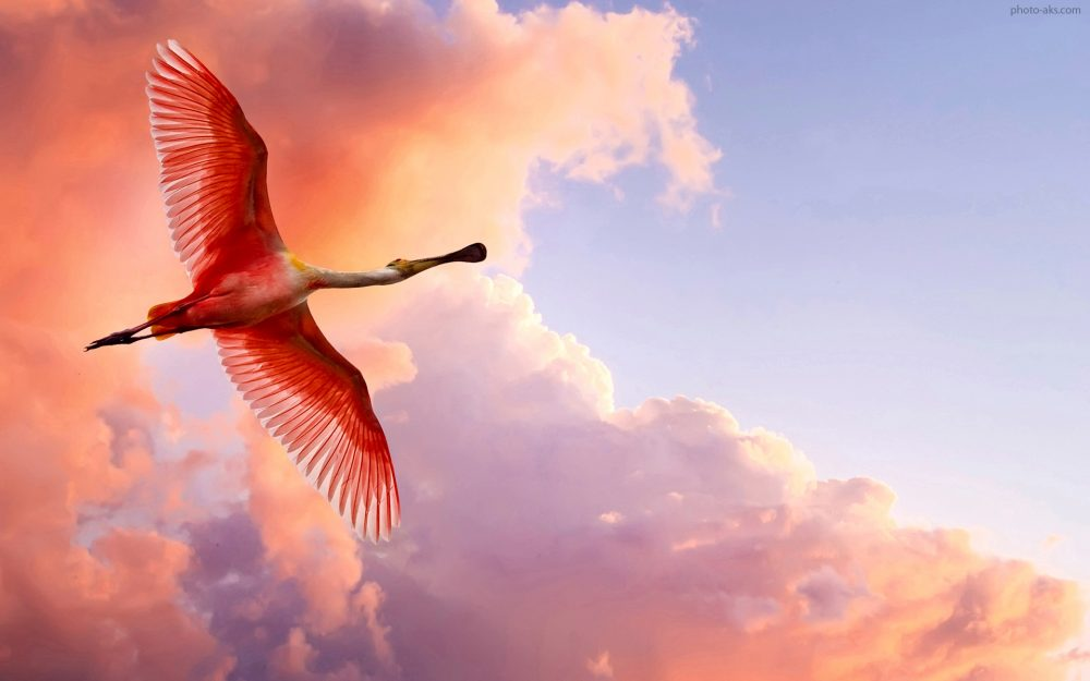 the roseate spoonbill