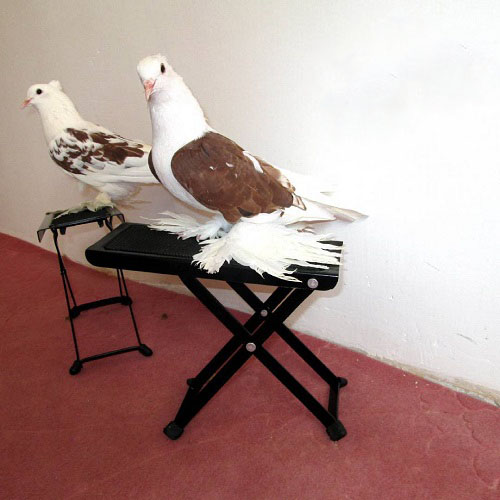 toptoop.ir تصاویر کبوتر پلاکی اصل جفت شده با دوکتی