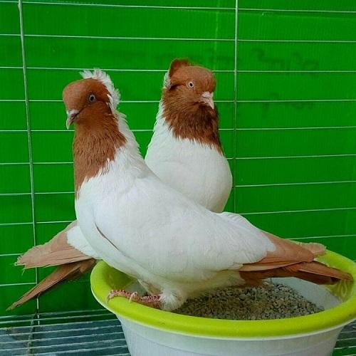 toptoop.ir عکس کبوتر های گران قیمت
